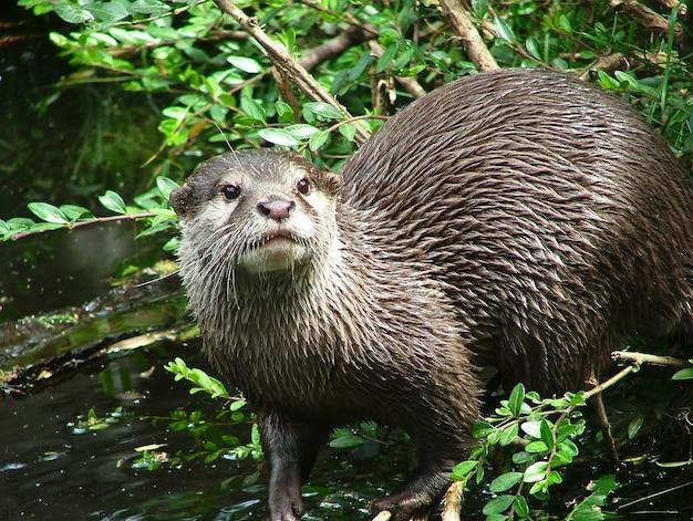 Orientalna wydra małopazurowa w naturze