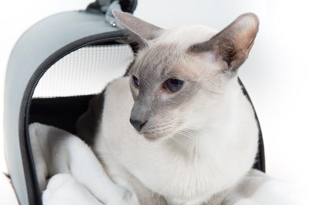 Orientalny błękitnego punktu syjamski kot pozuje na białej ścianie