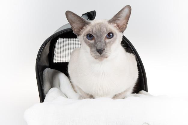 Orientalny błękitnego punktu syjamski kot pozuje na białym tle