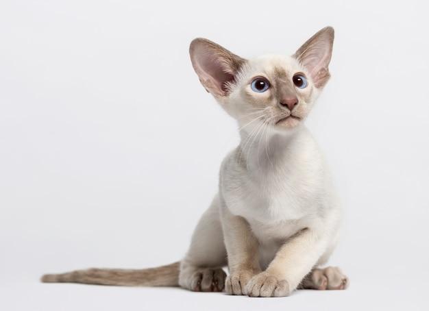 Orientalny kotek krótkowłosy przed białą ścianą