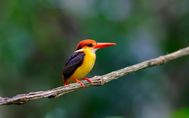 Orientalny krasnolud zimorodek czarny poparty kingfisher ceyx lacepede piękne ptaki tajlandii