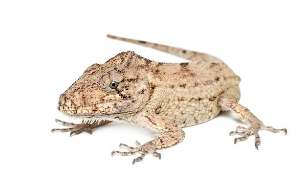 Oriente brodaty anole lub anolis porcus, chamaeleolis porcus, polychrus to rodzaj jaszczurek, powszechnie nazywanych anolisami krzewiastymi, na białej powierzchni