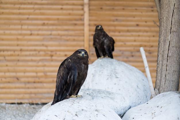 Orły siedzą na kamieniach