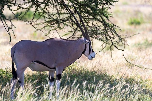 Oryx stoi na pastwisku otoczonym zieloną trawą i krzewami