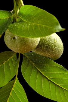 Orzech włoski gałązka orzecha włoskiego z niedojrzałymi owocami i zielonymi liśćmi z kroplami deszczu na czarnym ...