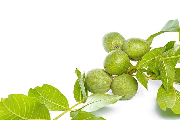 Orzech włoski owoc zielenieją gałąź odizolowywającą na białym tle