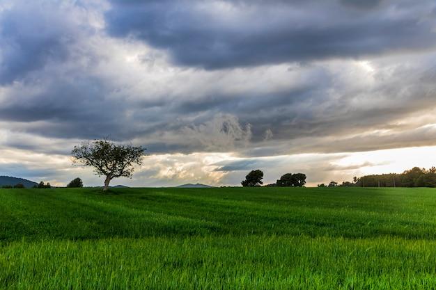 Orzech włoski pośrodku zielonej łące o zachodzie słońca w dzień z chmurami i promieniami słońca.