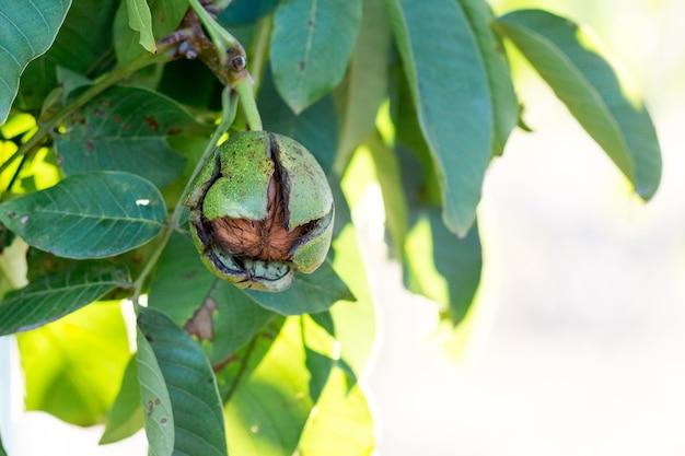 Orzech z pękniętą skorupą dojrzewa na drzewie