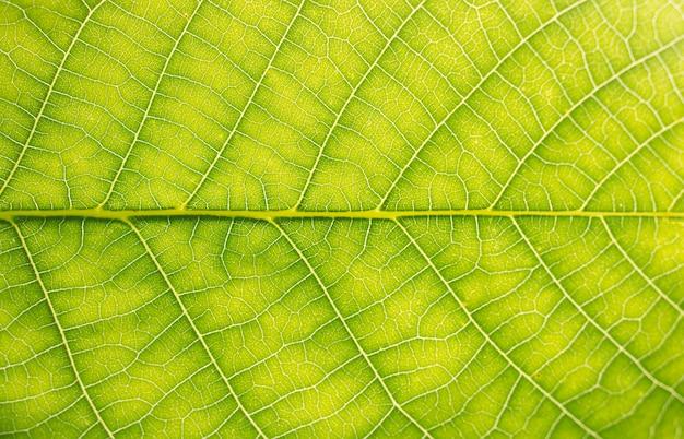 Orzech zielony liść tekstury
