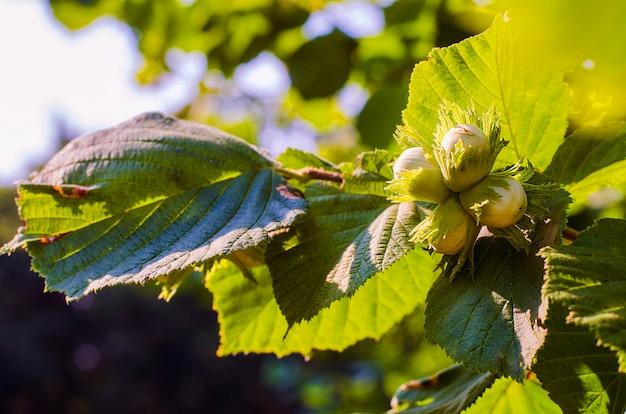 Orzechy laskowe na gałęzi leszczyny zbliżenie