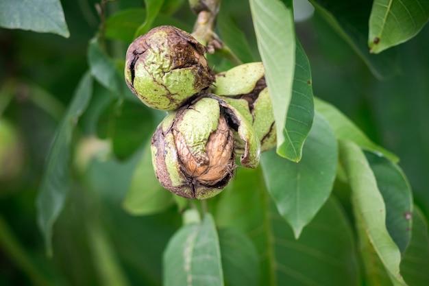 Orzechy na drzewie z pękniętą skorupą podczas dojrzewania