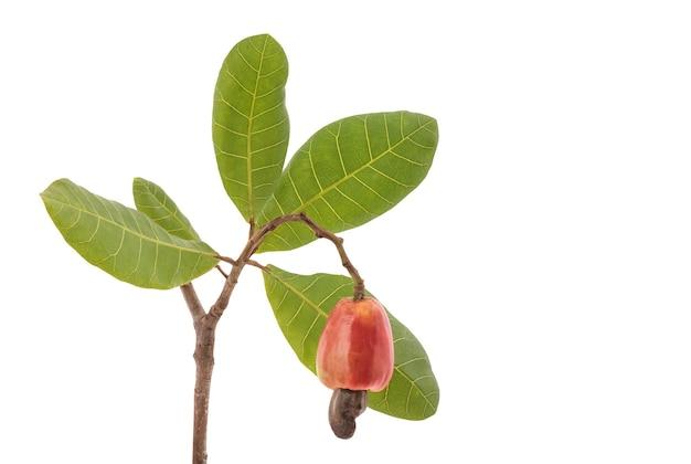 Orzechy nerkowca owoce i zielone liście na białym tle.