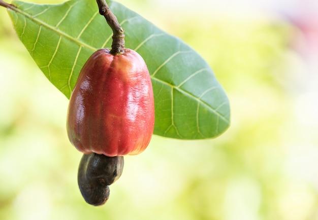 Orzechy nerkowca, owoce i zielone liście.