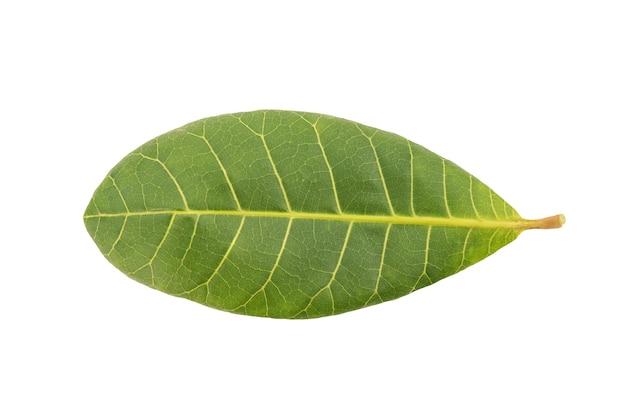 Orzechy nerkowca, zielony liść na białym tle. widok z góry, leżał płasko.