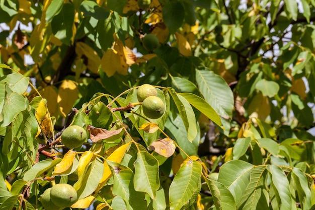 Orzechy włoskie w zielonej łupinie z żółto-zielonymi liśćmi, jesień zbliżenie
