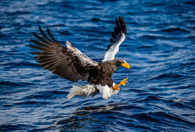 Orzeł bielik stellera w czasie ataku na rybę na tle błękitnego morza