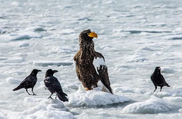 Orzeł morski stellera siedzi na lodzie. japonia. hakkaydo. półwysep shiretoko. park narodowy shiretoko.