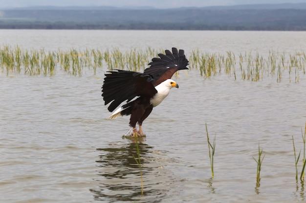 Orzeł rybak eagle z jeziora baringo w kenii w afryce