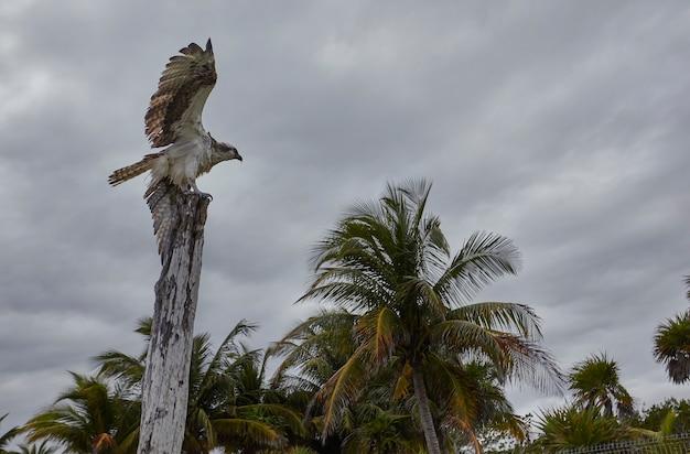 Orzeł zamierzający wzlecieć z góry na drewniany kołek na plaży xpu-ha w meksyku.