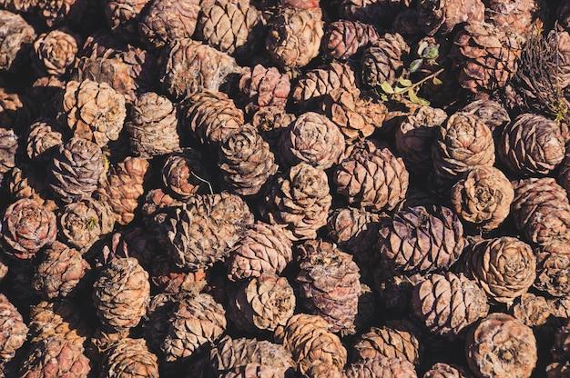 Orzeszki pinii w szyszkach w tle. orzech cedrowy