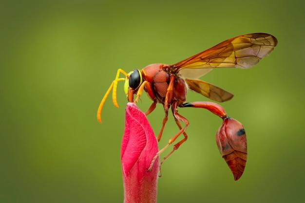 Osa doniczkowa (delta sp, eumeninae) na kwiacie. owad zwierząt