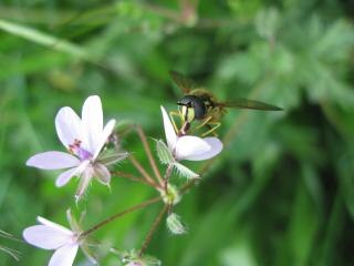 Osa na purpurowy kwiat