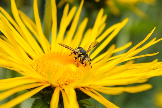 Osa na żółtym kwiecie