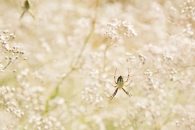 Osa pająk z bokeh kwiatami. argiope bruennichi