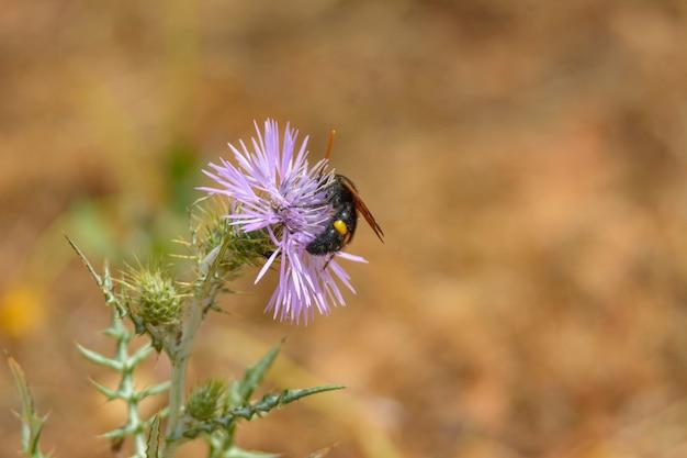 Osa, pszczoła (scolia hirta) żerująca na kwiatach dzikiego ostu