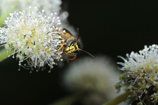 Osa siedzi na kwiatku - widok z przodu