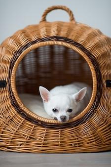 Osamotniony chihuahua szczeniak odpoczywa w łozinowym psim domu