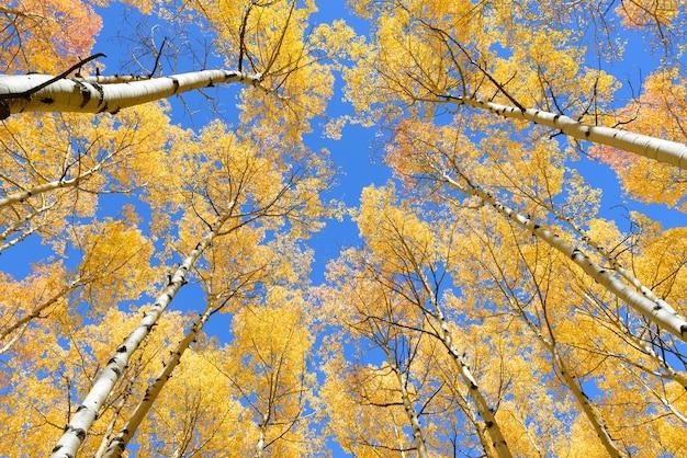 Osika drzewo spadek liści kolor w kolorado