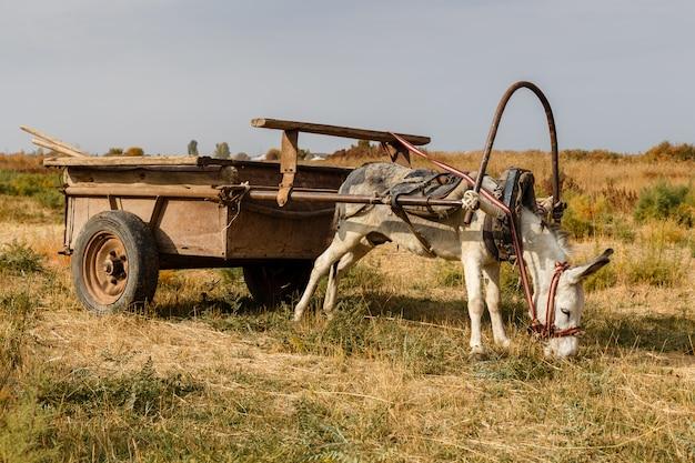 Osioł przywiązany do żelaznego wózka stoi na łące i zjada trawę