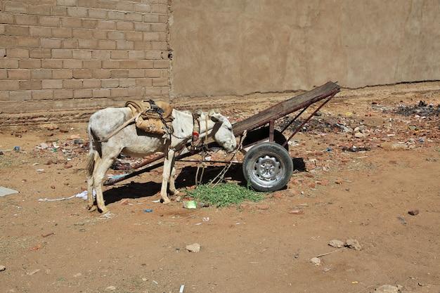 Osioł w karmie, sudan, afryka
