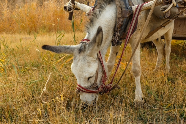 Osioł zjada suchą trawę w polnej głowie osła