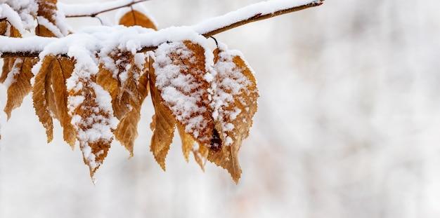 Ośnieżona gałąź drzewa z suchymi liśćmi w zimie w lesie na rozmytym tle