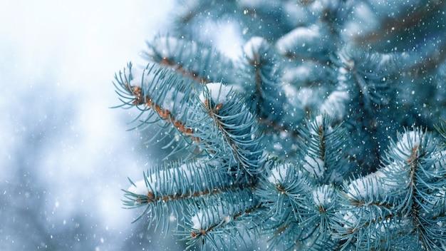 Ośnieżona gałąź świerkowa podczas opadów śniegu, zimowe tło