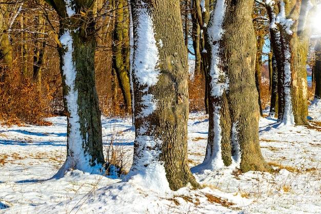 Ośnieżone drzewa w zimowym lesie przy słonecznej pogodzie