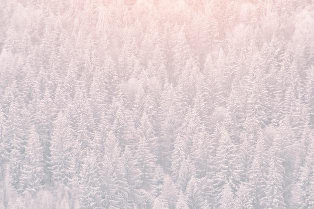 Ośnieżone jodły. gęsty las iglasty. zimowy krajobraz