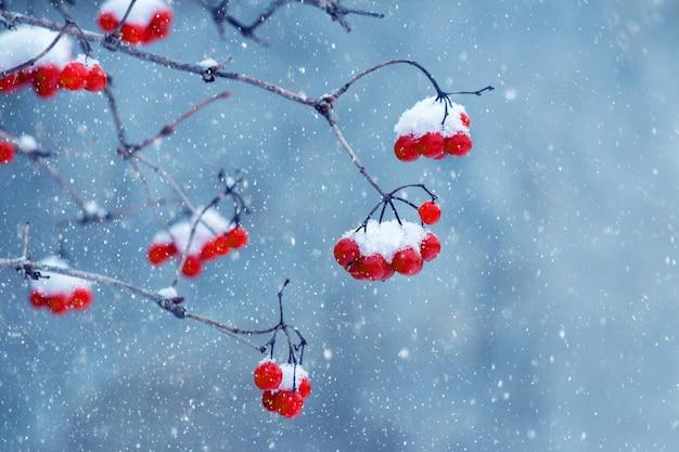 Ośnieżone kiście czerwonej kaliny na niebieskim tle podczas opadów śniegu