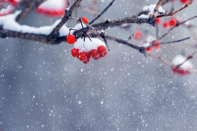 Ośnieżone kiście kaliny z czerwonymi jagodami podczas opadów śniegu