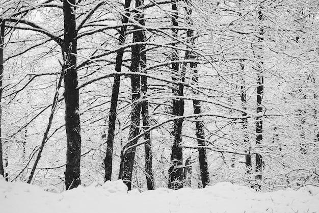 Ośnieżone zimowe gałęzie drzew w lesie