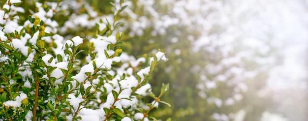 Ośnieżony krzew bukszpanu o zielonych liściach, zimą bukszpan