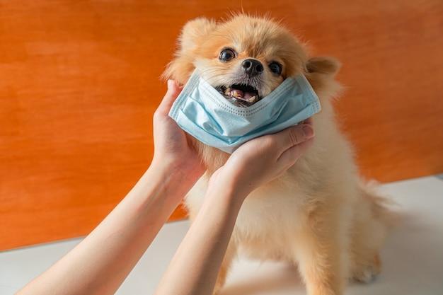 Osoba dotykająca psa pomorskiego, małego psa rasy, który nakłada maskę zdrowotną i siedzi na białym stole