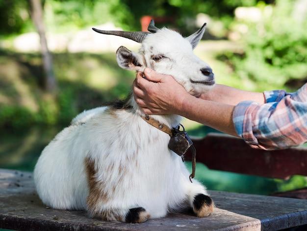 Osoba opiekująca się białą kozą