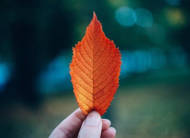 Osoba posiadająca brązowy liść z rozmytym tłem