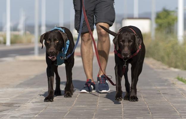 Osoba spacerująca po ulicy z dwoma czarnymi psami weimarskimi