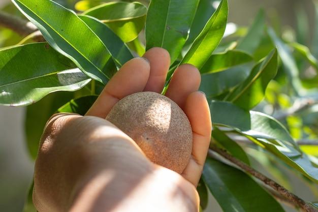 Osoba trzymająca owoc na drzewie