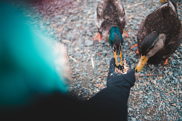 Osoba w czarnych rękawiczkach karmiąca ziarnem dwie kaczki krzyżówki