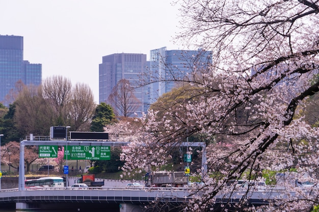 Osoby dojeżdżające do pracy podróżują na drogę ekspresową w tokio w sezonie kwitnienia wiśni.
